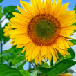 Yellow sunflower with blue sky background — Stock Photo