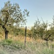 Olive trees in rural Tuscany — Stock Photo