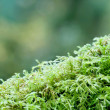 Closeup of green moss — Stock Photo