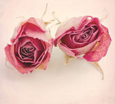 Two dried roses — Stock Photo