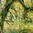 Rainforest tree with moss — Stock Photo