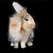 Soft beige lop rabbit on black background — Stock Photo