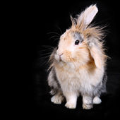 Soft brown bunny rabbit on black background — Stock Photo
