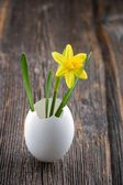 Yellow daffodil in a white egg shell — Stock Photo