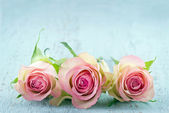 Three pink roses on light blue background — Stock Photo