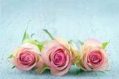 Tre rosa rosor på ljus blå bakgrund — Stockfoto