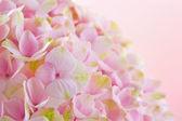 粉红色的绣球花特写 — 图库照片