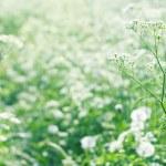 White wild carrot flowers — Stock Photo