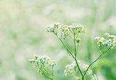 Královna annes krajky na svěží zelené letní louce — Stock fotografie
