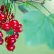 Stock Photo: Ripe red currant berries and leaves