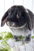 Black lop bunny rabbit on white wooden studio background — Stock Photo