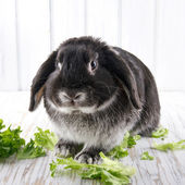Cute soft black lop bunny rabbit — Stock Photo
