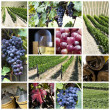 Royalty-Free Stock Photo: Vineyard collage