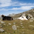 Cows in the mountains — Stock Photo