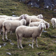 Sheep flock - Stock Photo
