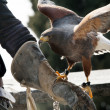 Falcon and falconer — Stock Photo