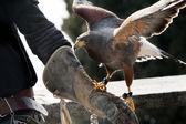 Falcon and falconer — Stock Photo