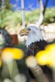 águia careca — Foto Stock