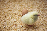 Newly hatched chicks — Stock Photo
