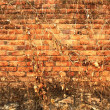 Grunge wall in old red brick with dried ivy. Textured background. — Stock Photo