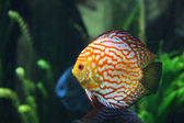 Multi Colored Tropical Fish In Saltwater Tank — Stock Photo