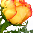 Single Rose - Stock Photo