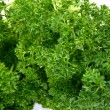 Stock Photo: Close up Fresh Parsley