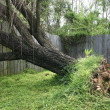 Fallen Willow Tree - Stock Photo