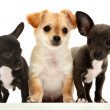 Group of three chihuahupuppies over white. — Stock Photo #28137229