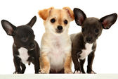 Group of three chihuahua puppies over white. — Stock Photo