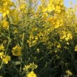 Stock Video: Rapeseed