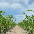 Stock video: Juvenile Corn