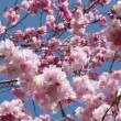 Stock Video: Flowering Cherry
