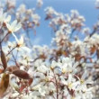 Stock Video: Amelanchier Lamarckii