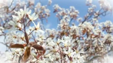 Amelanchier Lamarckii — Stock Video