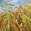 Barley — Stock Photo #12660222