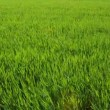 Stock Video: Green Barley