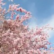 Flowering Cherry — Stock Video