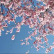 Flowering Cherry - Lizenzfreies Foto