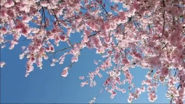 Flowering Cherry — Stock Video #15620723