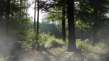 Forêt brumeuse — Vidéo