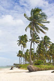 árbol de coco en la playa de porto de galinhas — Foto de Stock
