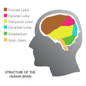 Structure of the Human Brain — Stock Vector