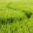 Paths in Rice field — Stock Photo #19225455