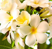 Frangipani çiçekler — Stok fotoğraf