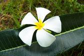 Plumeria flores tropicais — Fotografia Stock