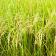Rice paddy field — Stock Photo