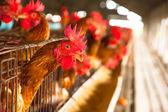 яйца кур на местной ферме — Стоковое фото