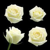 λευκό τριαντάφυλλο που απομονώνονται σε μαύρο φόντο — Φωτογραφία Αρχείου