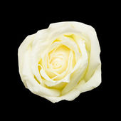 White rose on black background — Stock Photo